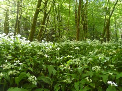 torrent-walk-wild-garlic